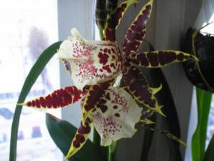 Орхідея Камбрія — догляд в домашніх умовах  b6952495c39e9